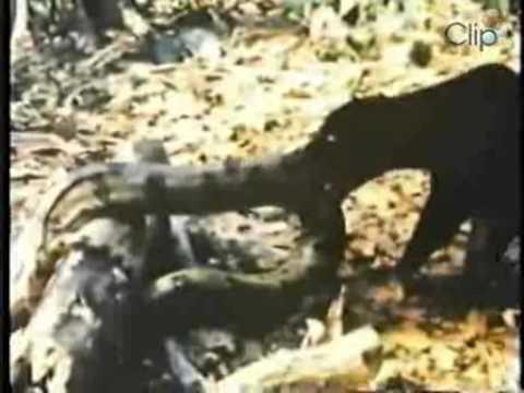Xem video clip Báo đánh nhau với rắn khổng lồ   Video hấp dẫn   Clip hot   Baamboo com