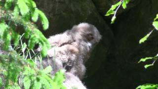 Young owls -Bubo bubo- in nest- Junge Uhus im Nationalpark Bayer. Wald