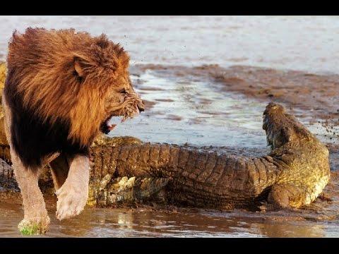 Лев. Львы. Всё о львах.