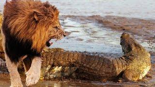 львы против крокодила - 2015(1-лев-самец нападает на крокодила 2-мужчина Лев атакует крокодила 3-лев гордость атаковать гигантский крокод..., 2015-02-21T18:07:30.000Z)