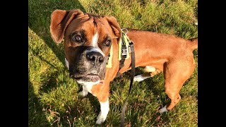 Chester - Boxer - 2 Week Intensive Dog Training Course