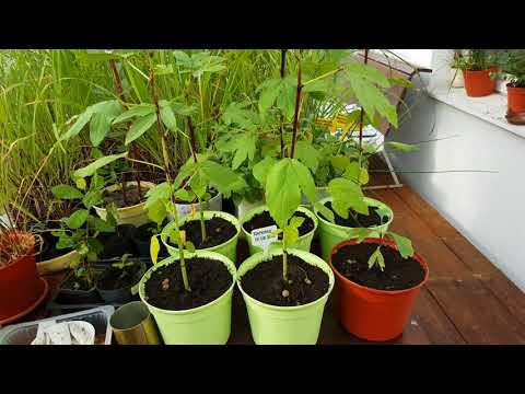 Растение Каркаде месяц спустя