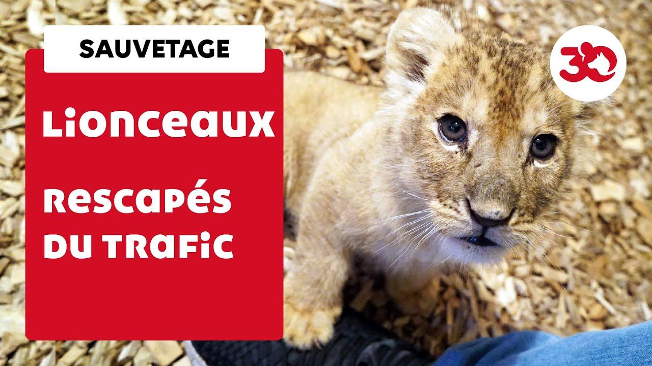Nouvelle vie pour ces lionceaux rescapés de trafic !