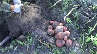 Алладин - оздоровленный сорт картофеля... БОМБА!(, 2017-09-23T20:40:29.000Z)