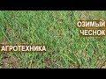 Озимый чеснок. Агротехника. Советы Сузана В. Г.