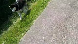 Dominant Siberian Husky Vs. Patterdale  little Fell terrier doesn't get bullied Estacado