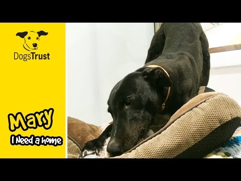 Mary the Greyhound Loves Playing with Her New Toy - Looking for a Home! | Dogs Trust Manchester