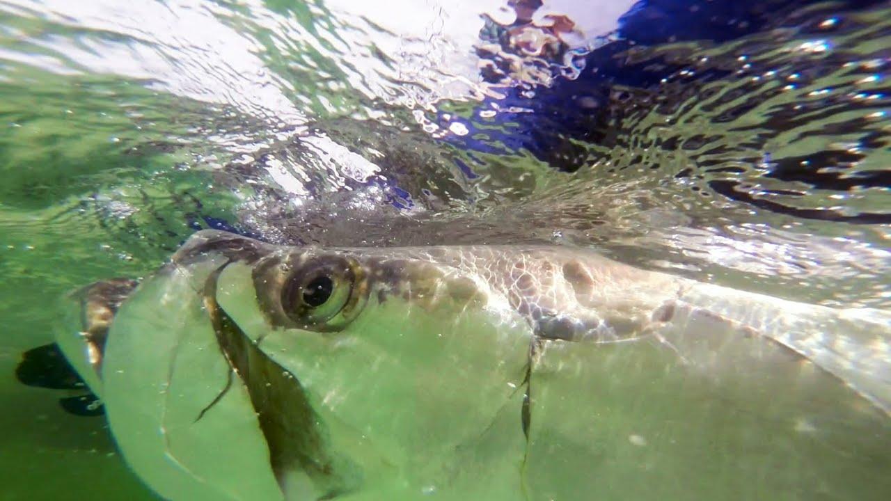 Tarpon fishing tampa bay florida with capt chris camps for Tarpon fishing tampa