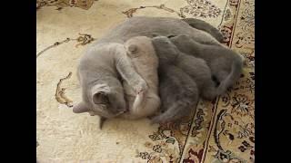 Британские Вислоухие котики