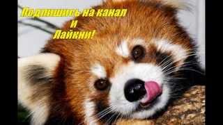 красная панда красавица