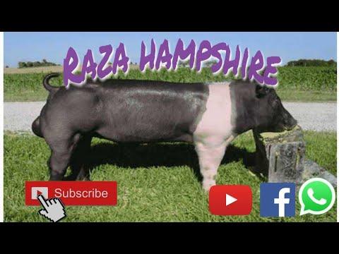 Raza Hampshire 🐖