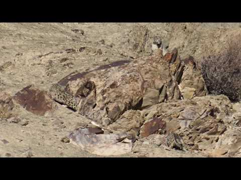 Daily Dose of Nature | Snow Leopards & Wildlife of the Himalayas