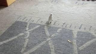 リビングのカーペットを跳ねていた白文鳥のふーちゃんが、 突然こっちに...