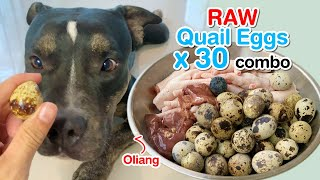 Oliang the Pit Bull eats Raw Quail Eggs x 30 combo [ASMR] BARF | MUKBANG 動物の咀嚼音 | 犬が生の肉を食べる