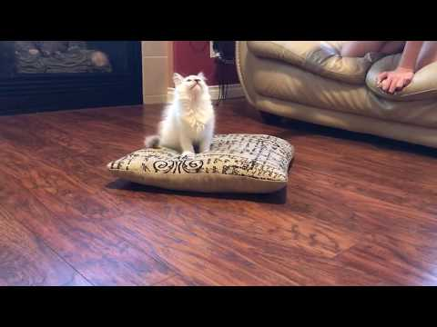 Ragdoll kitten - Why ragdoll?  Is that the best cat for you -  part two