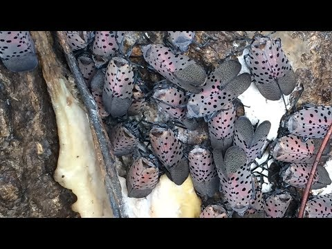 Reading and Harrisburg Breaking News - Philly Police - Please Don't Call 911 to Report Spotted Lanternfly