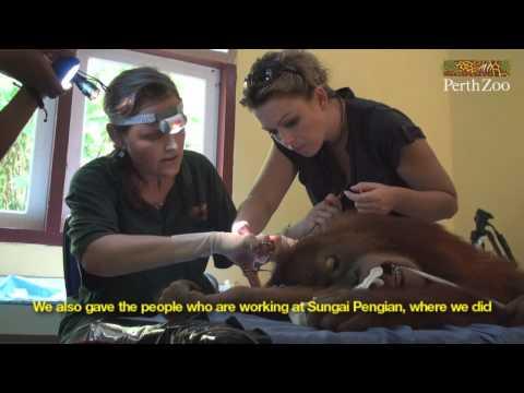 Orangutan Transmissions in Bukit Tigapuluh, Sumatra