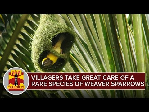 Villagers take great care of a Rare Species of Weaver Sparrows | Pudukkottai | Special Report