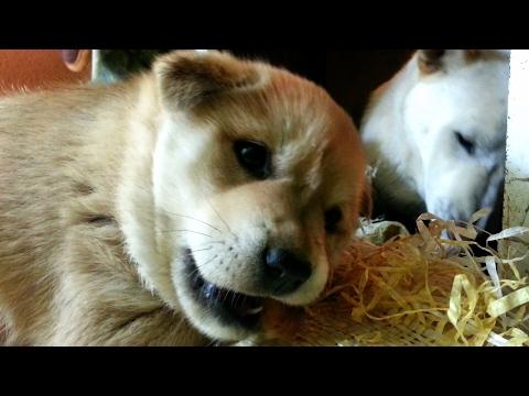 [54] 한달된 아기 진돗개 강아지 장금이의 왕족발 살 발라먹기 먹방경연 영상 / Pigs' feet eating contest of cute puppy