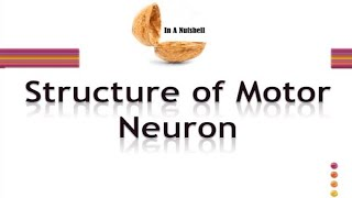Structure of Neuron/Motor neuron in Urdu/Hindi