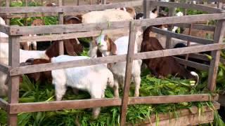 Sardar Nur Husain Stud Farms