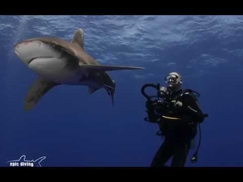 Epic Diving - A week Shark Diving with Oceanic Whitetips