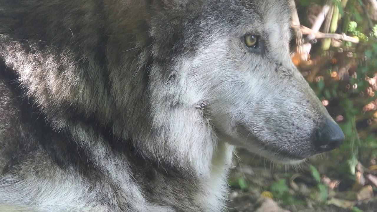 Mexican Gray Wolf Diego - Essential. Endangered. Extremely handsome.