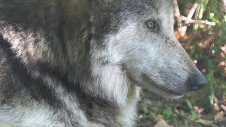 Meet Mexican gray wolf M1059, a.k.a. Diego! He represents the Wolf ...
