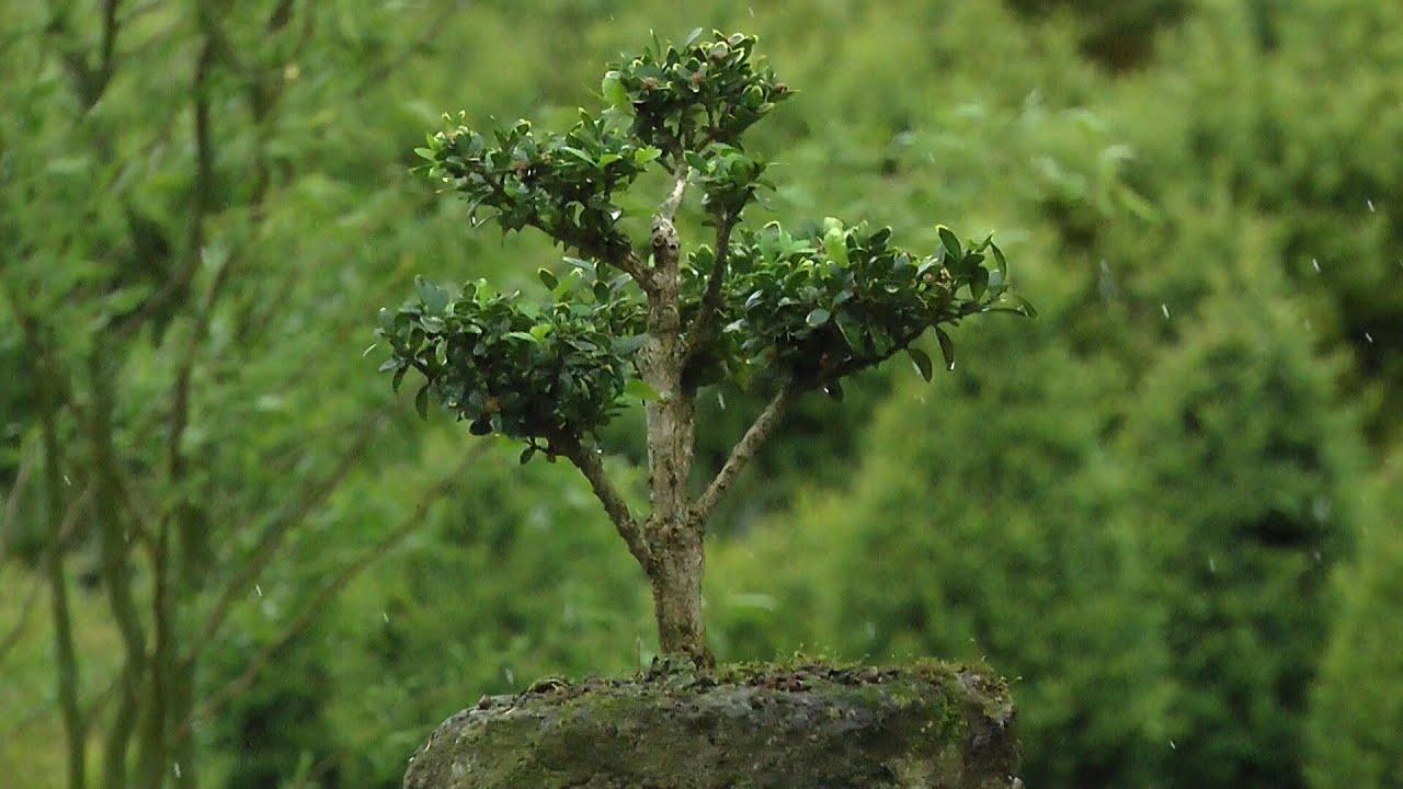 Buchsbaum formschnitt und gestaltung youtube - Buchsbaum formschnitt ...