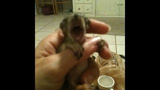 Baby Squirrel Crying