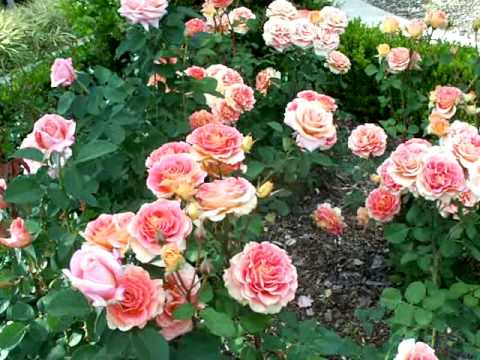 About Face Grandiflora Rose.mov - YouTube