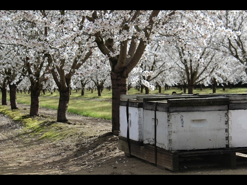 Watch out for Honey Bee Theft During Pollination