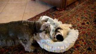 Dieter The Minature Schnauzer Meets Rosie The Shih Tzu Puppy