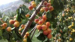 Fruits of Hunza & Giligit-Baltistan