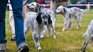 Межрегиональная 116-я Московская выставка собак охотничьих пород. Старший ринг сук