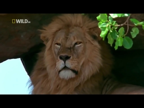 NATGEO DOCUMENTARY - Fierce Fighting Between The Lions King Of The Jungle.