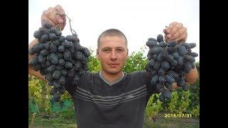 Виноград (Руслан) ранний гибрид