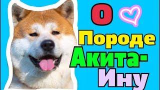 МНОГОЕ О ПОРОДЕ АКИТА-ИНУ || HAPPY PETS