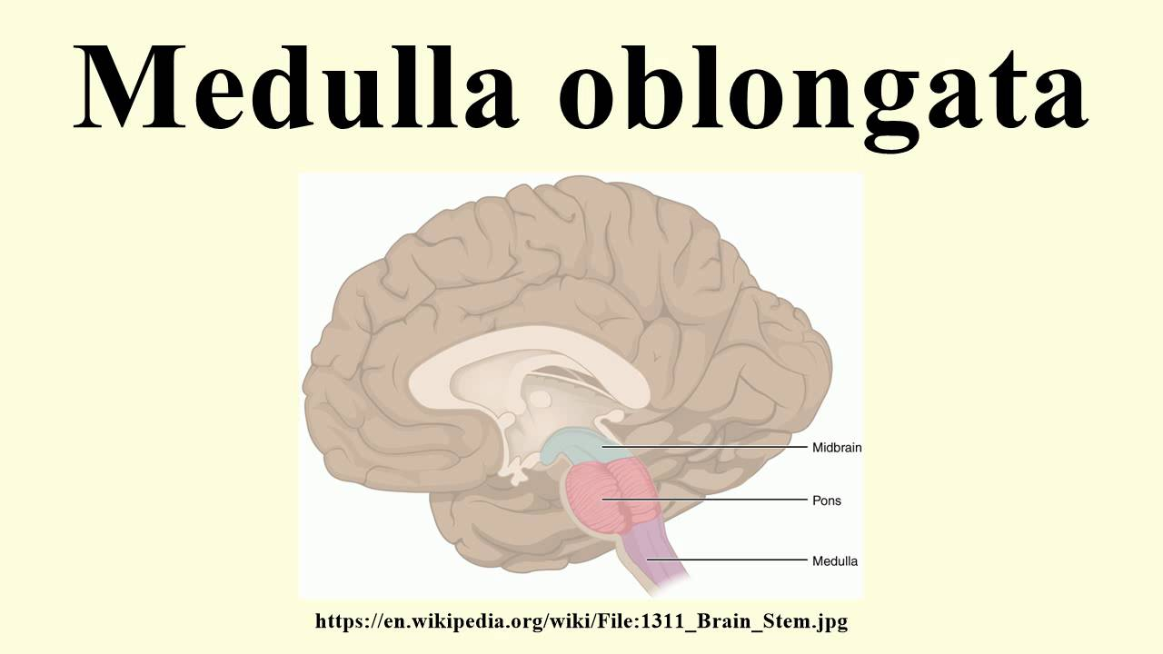 Medulla oblongata - YouTube