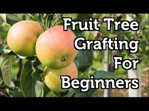 Fruit Tree Grafting for Beginners