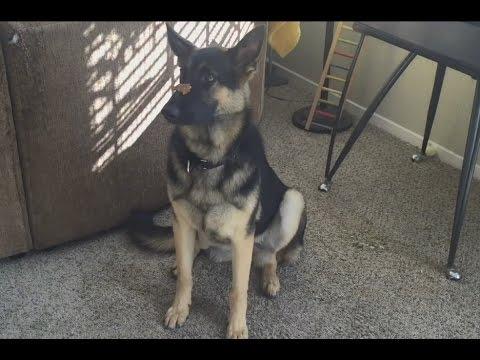 German Shepherd dog Training Summary All Learned Behaviors Treat On Nose + More GSD Kara 10mo old