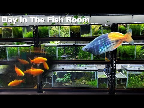 Bosemani Rainbow Fish, Moving Rosy Barbs And Archer Fish, Rice Fish Fry, Day In The Fish Room #20