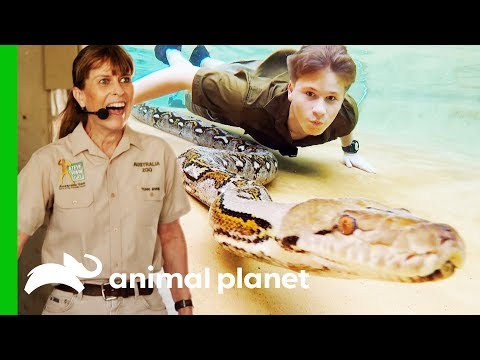 Robert Irwin Swims With A Reticulated Python For The First Time | Crikey! It's The Irwins