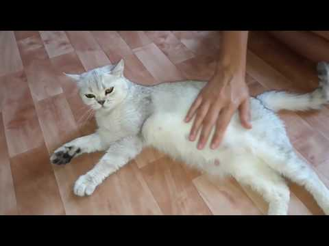 ПЕРВЫЕ РОДЫ КОШКИ\РОЖДЕНИЕ КОТЯТ\СЛОЖНЫЕ РОДЫ\ПОЧЕМУ КОТЁНОК УМЕР\Cat's Birth\ПАТРИК НА ЦЕПИ