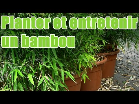 comment planter et entretenir un bambou pour balcon youtube. Black Bedroom Furniture Sets. Home Design Ideas