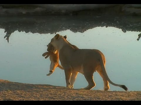 SafariLive August 25. When a lion cub won't listen to mom. :)
