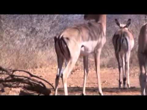 Motsomi Safaris South Africa Crossbow Hunting Impala Yvonne