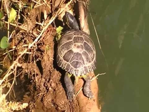 La enorme tortuga del río Linares  Amandi, Villaviciosa  vuelve a aparecer en 2015