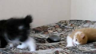 Курильский бобтейл короткохвостая порода кошек