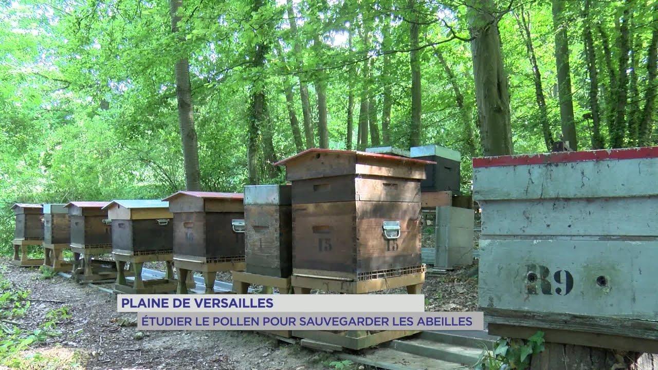 Yvelines | Plaine de Versailles : étudier le pollen pour sauvegarder les abeilles
